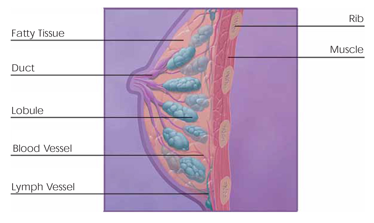 Breast overview illustration