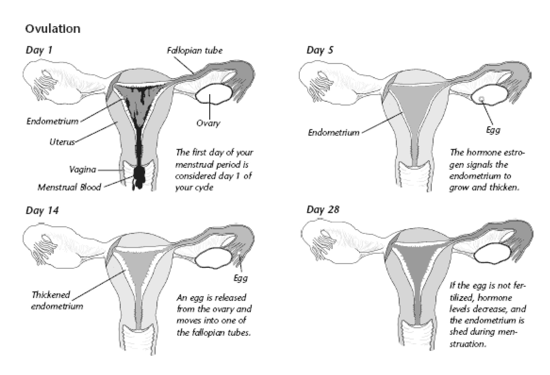 Menstrual cycle illustration